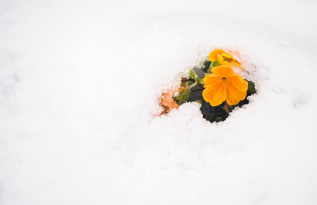 Yellow flower emerging from the snow.