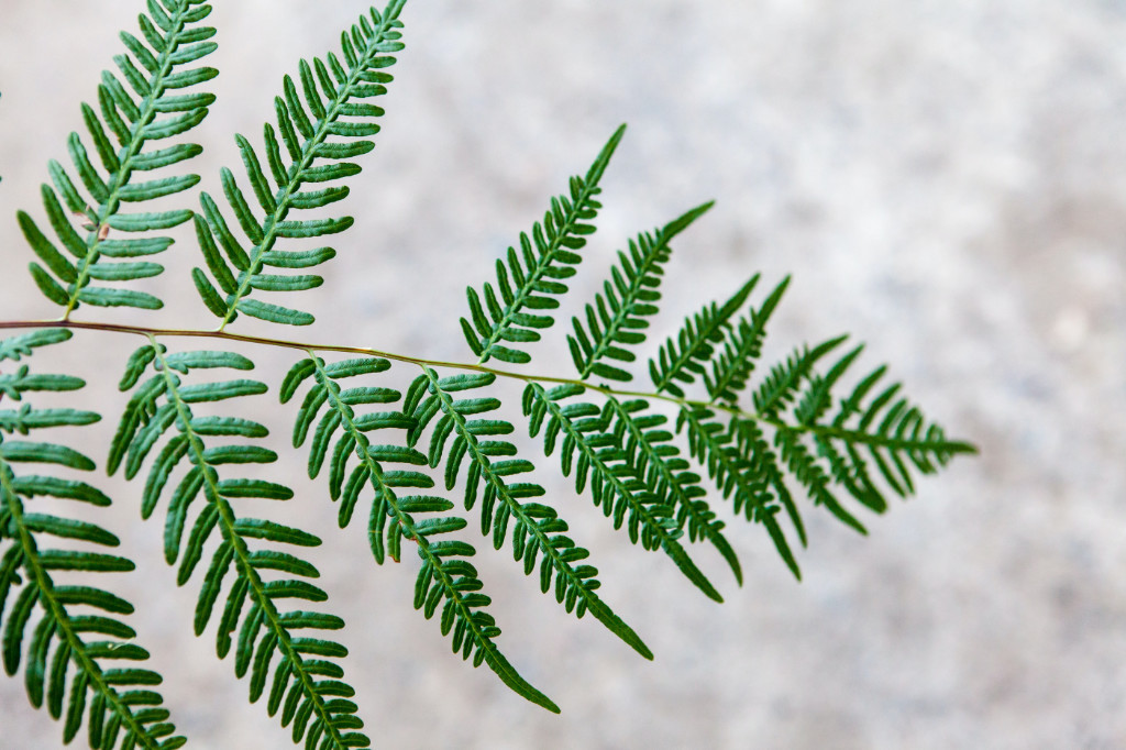 A fern with one leaf missing in the middle.