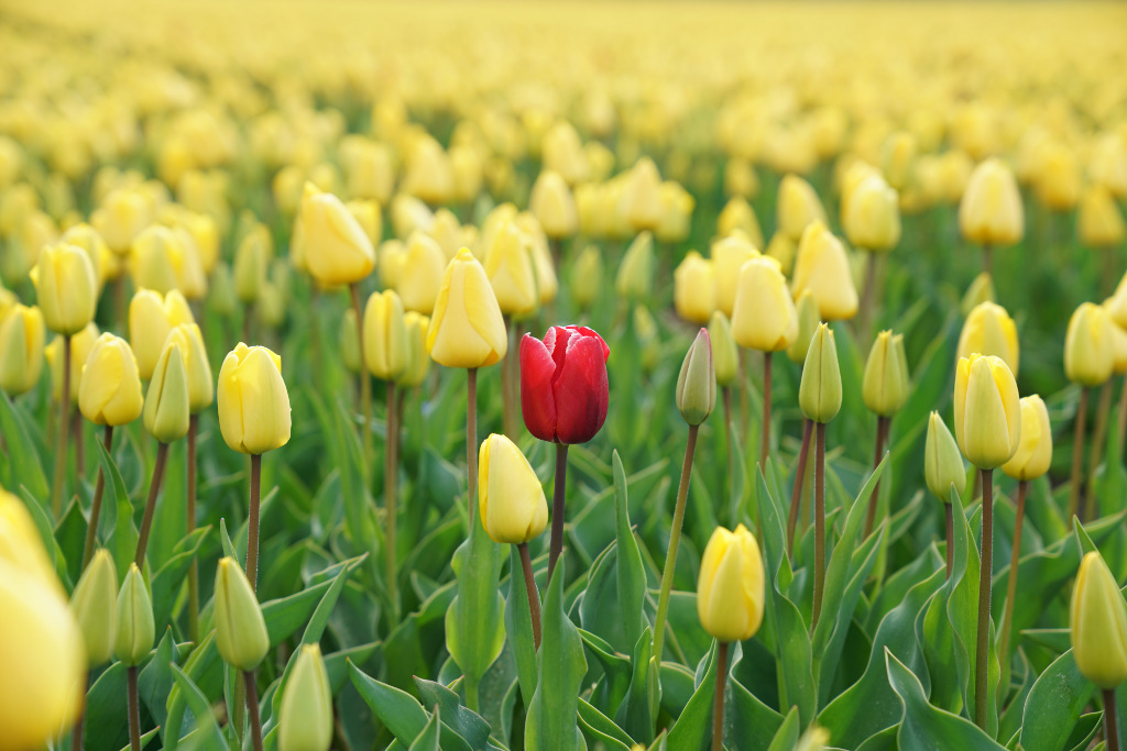 A red tulip flower in a yellow tulip field.